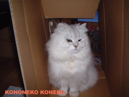 この猫仔猫-バニラ215-