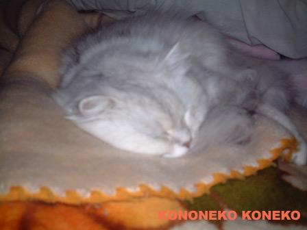 この猫仔猫-バニラ218-