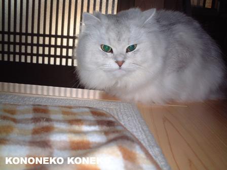 この猫仔猫-バニラ224-