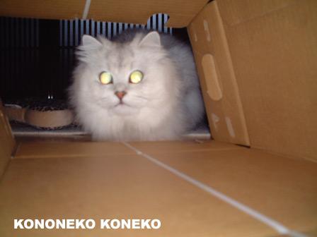 この猫仔猫-バニラ227-
