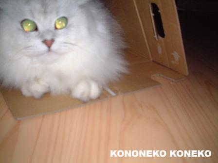 この猫仔猫-バニラ228-