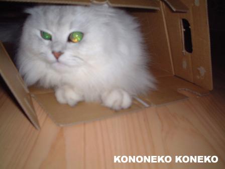 この猫仔猫-バニラ229-