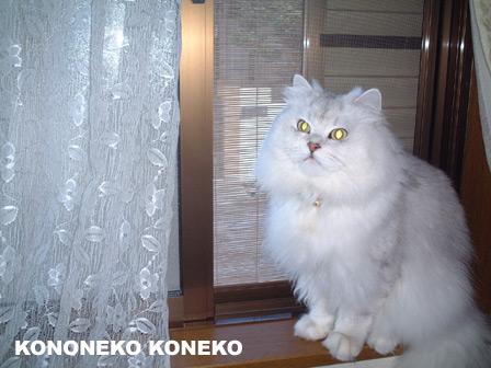 この猫仔猫-バニラ232-