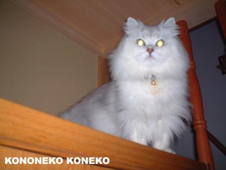 この猫仔猫-バニラ235-
