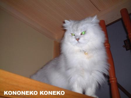 この猫仔猫-バニラ236-