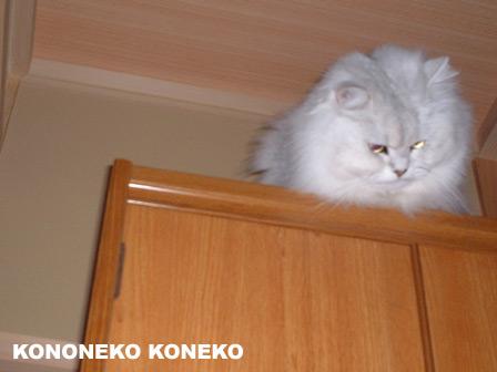 この猫仔猫-バニラ237-