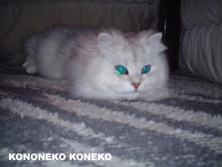 この猫仔猫-バニラ242-
