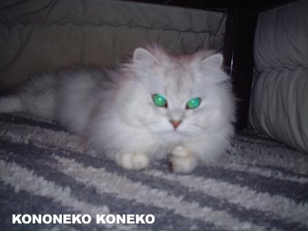この猫仔猫-バニラ243-