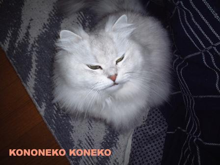 この猫仔猫-バニラ251-