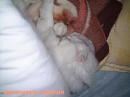この猫仔猫-バニラ253-