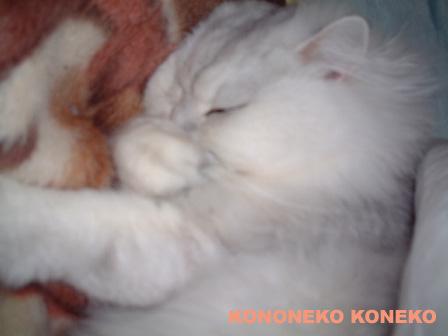 この猫仔猫-バニラ254-