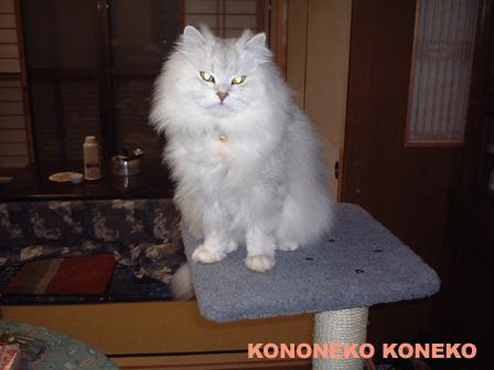 この猫仔猫-バニラ256-