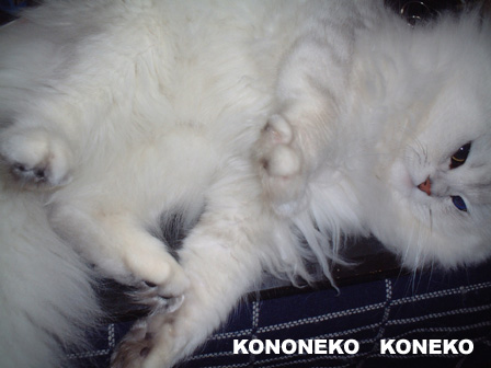 この猫仔猫-バニラ269-