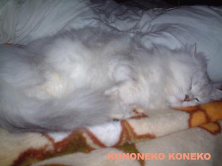 この猫仔猫-バニラ276-