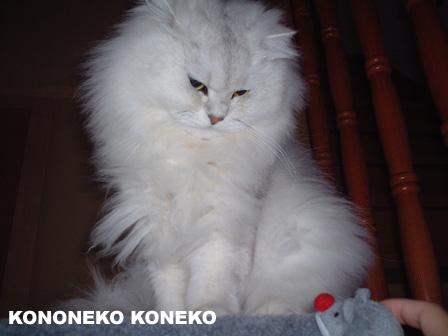この猫仔猫-バニラ278-