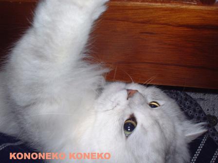 この猫仔猫-バニラ282-