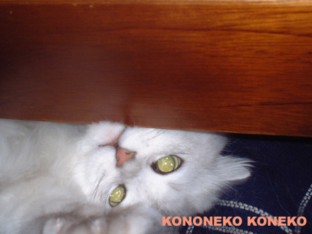 この猫仔猫-バニラ284-