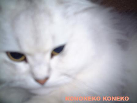 この猫仔猫-バニラ285-