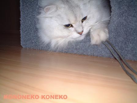 この猫仔猫-バニラ287-