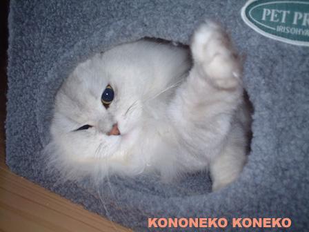 この猫仔猫-バニラ288-