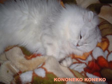 この猫仔猫-バニラ292-