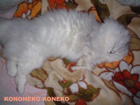 この猫仔猫-バニラ293-