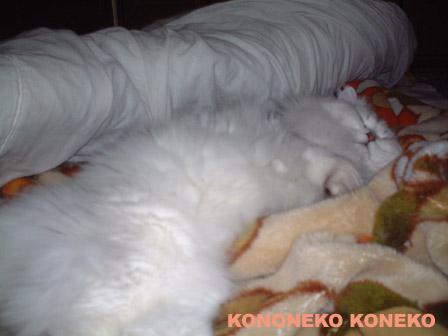 この猫仔猫-バニラ294-