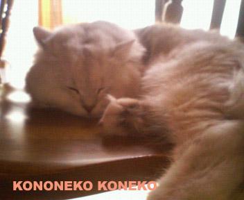 この猫仔猫-バニラ305-