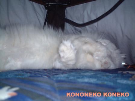 この猫仔猫-バニラ309-