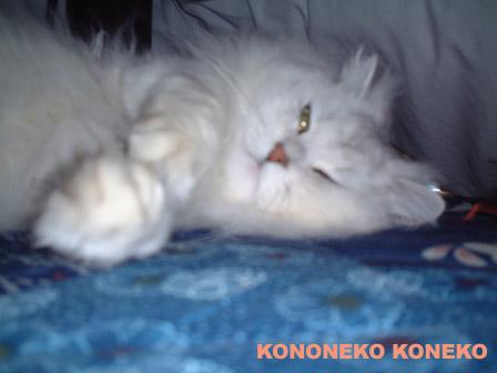 この猫仔猫-バニラ310-
