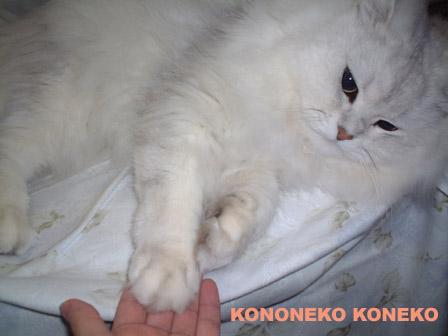 この猫仔猫-バニラ311-