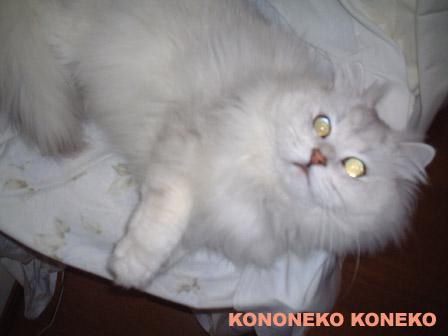 この猫仔猫-バニラ315-