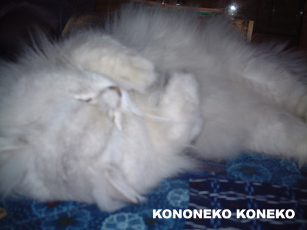 この猫仔猫-バニラ323-