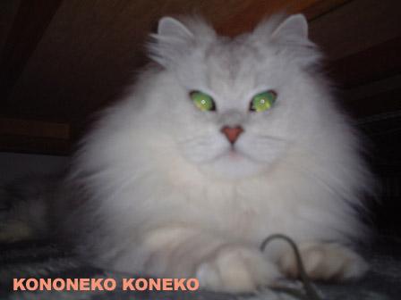 この猫仔猫-バニラ330-
