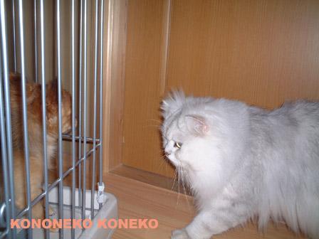 この猫仔猫-バニラ331-