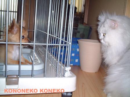 この猫仔猫-バニラ332-