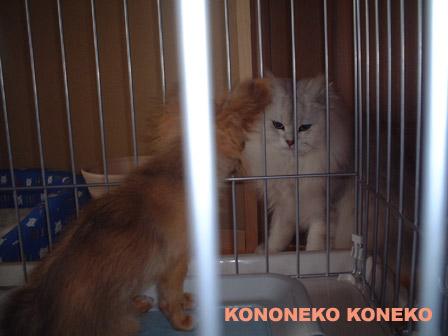 この猫仔猫-バニラ333-