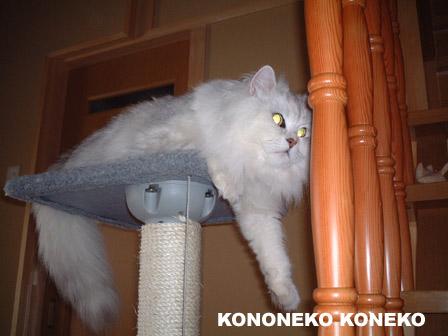 この猫仔猫-バニラ334-