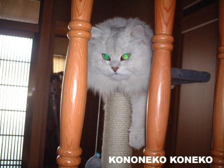この猫仔猫-バニラ335-