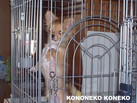 この猫仔猫-バニラ336-