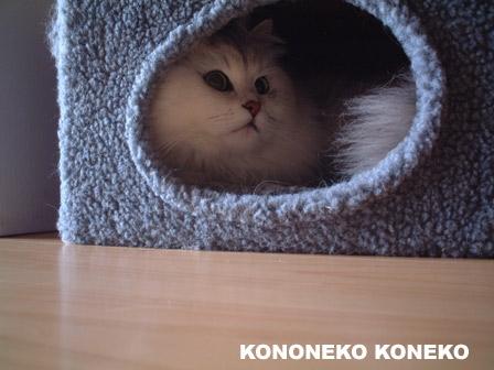 この猫仔猫-バニラ337-