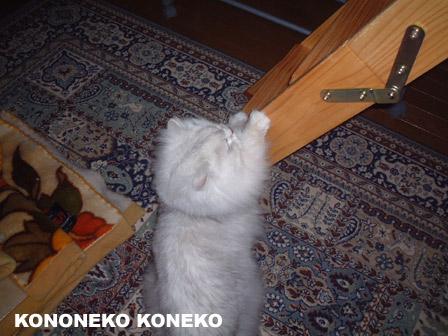 この猫仔猫-バニラ341-