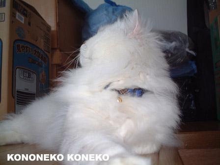 この猫仔猫-バニラ344-