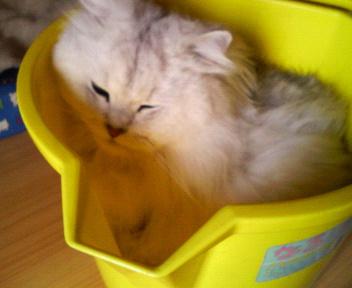 この猫仔猫-バニラ346-