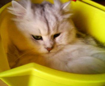 この猫仔猫-バニラ347-