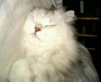 この猫仔猫-バニラ348-