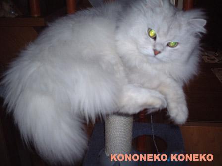 この猫仔猫-バニラ351-