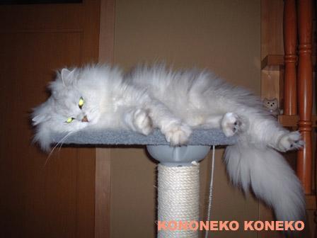 この猫仔猫-バニラ353-