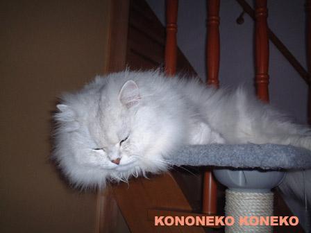 この猫仔猫-バニラ354-