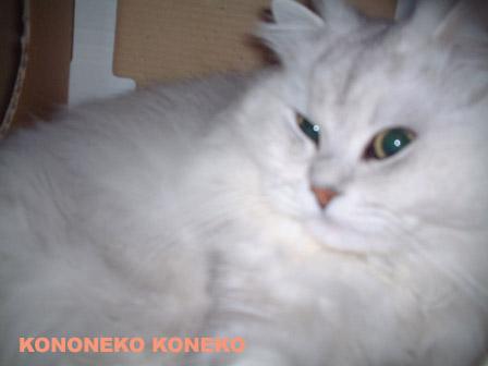 この猫仔猫-バニラ355-